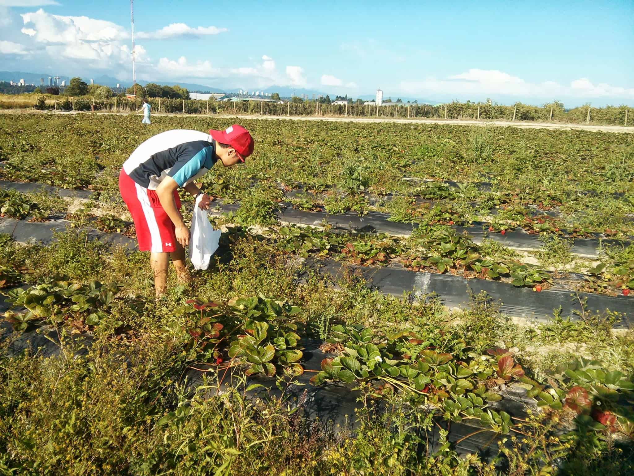 Berry Picking at Birak Berry Farm