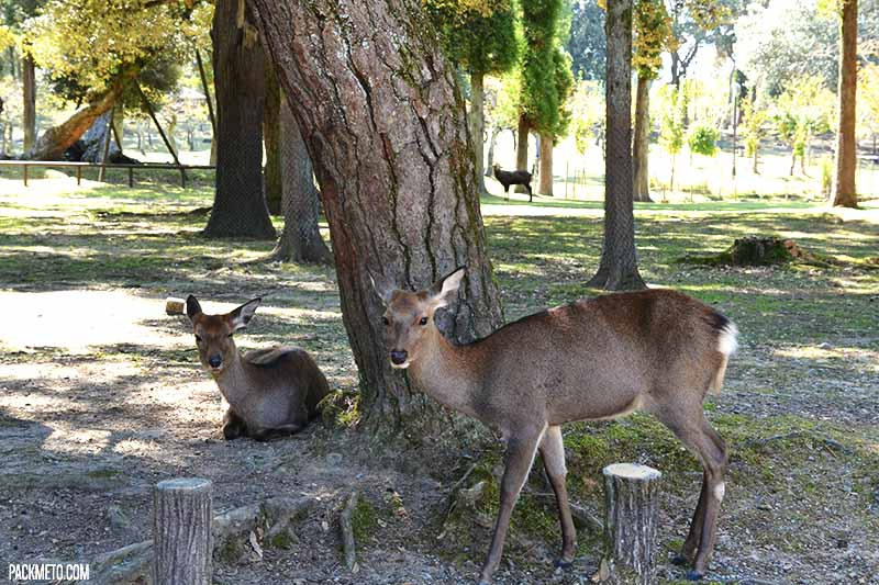 Deer in Nara Park | @packmeto
