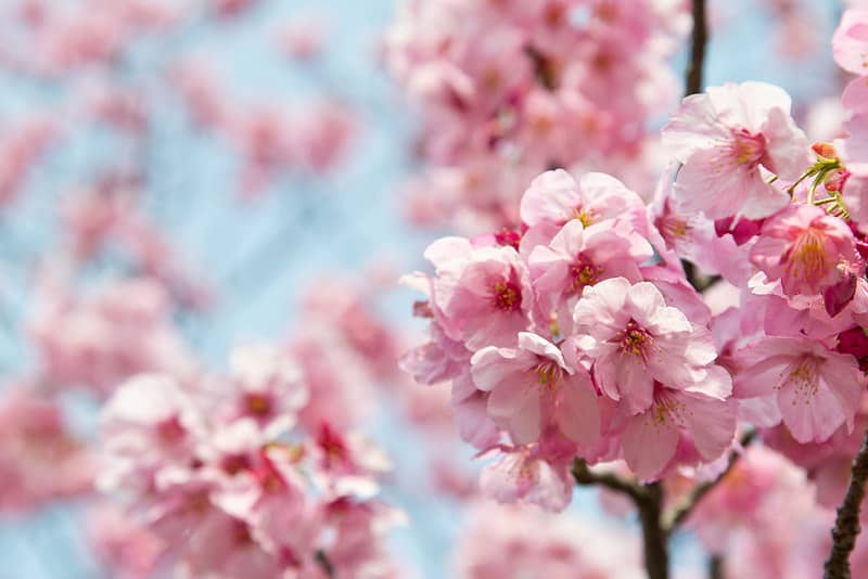 Experiencing Cherry Blossoms In Tokyo Japan